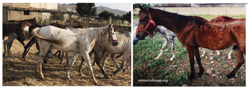 17-starving-horses-found-at-a-horse-farm-in-Lebanon